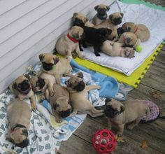 AHHHH!!!!!! PUGGY PUPPIES!!!!!!!!!!!!! THE CUTENESS!!!!!! I CANT!!!!!!! I CANT HANDLE IT!!!!!!!