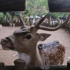 Deer Selfie