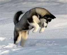 jindo dog - Google 검색