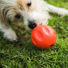 When building the BetterBall™, we set out to build a toy for the toughest customer possible: ANIMAL SHELTERS. Did you know shelter dogs seen playing with toys are adopted faster? That's why we donate a BetterBall™ to a shelter … Westies, Human Food For Dogs, Dog Teeth, Dog Eating, Dog Training Tips, Training Software, Training Online, Shelter Dogs, Happy Dogs
