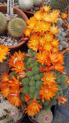 Succulent and Cactus Love Colorful Plants, Unusual Plants, Exotic Plants, Exotic Flowers, Amazing Flowers, Beautiful Flowers, Flowering Succulents, Cacti And Succulents, Planting Flowers