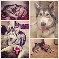 The many faces of Shi my wolfdog.