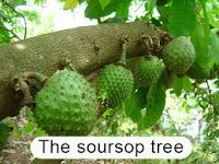 Herbal fruit suppliers: Soursop Fruit