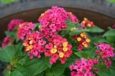 Lantana is a good container flower that attracts butterflies.