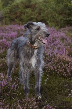 Bedlington Whippet, Lurcher, Whippets, Scottish Deerhound, Irish Wolfhounds, Scottish Terriers, Funny Dogs, Cute Dogs, Hounds Of Love