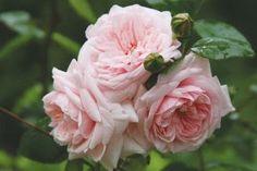 Judy's Cottage Garden: Rose Pictures - Awakening