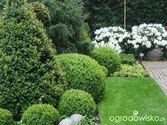 Ogród nie tylko bukszpanowy - część II - strona 242 - Forum ogrodnicze - Ogrodowisko