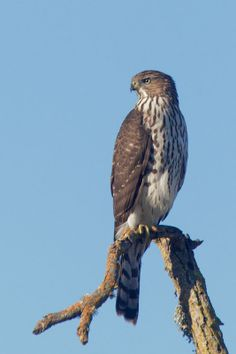 cooper's hawk | above and below a juvenile having just captured a vole