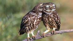 Resultado de imagem para owl