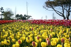 Colorful tulips in a flower festival, Taean, South Korea