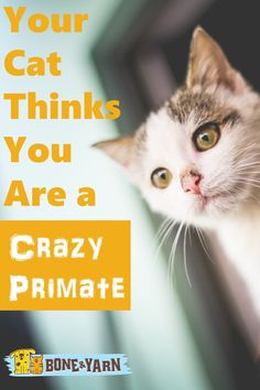 Do you sometimes think you're crazy?  Well, so does your cat, according to one prominent cat researcher.  Read why here: http://www.boneandyarn.com/cat-thinks-youre-crazy-primate/  #cat #cats #catbehavior