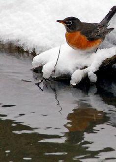 American Robin in winter Pretty Birds, Love Birds, Beautiful Birds, Animals Beautiful, Small Birds, Colorful Birds, Little Birds, American Robin, Kinds Of Birds