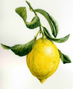 Fruit illustration lemon art prints New ideas Watercolor Fruit, Watercolor Flowers, Watercolor Paintings, Watercolors, Lemon Painting, Fruit Painting, Painting Art, Botanical Drawings, Botanical Prints