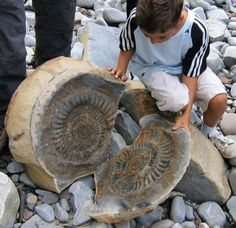 A huge ammonite discovered at Quantoxhead, England.   #Fossils #Ammonite   Visit Amazing Geologist for more..