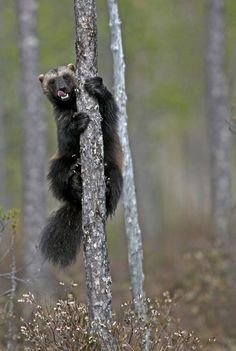 Wolverine in Finland by David WOLBERG on 500px