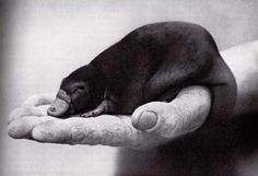 I would love to see a platypus someday. Especially a baby!