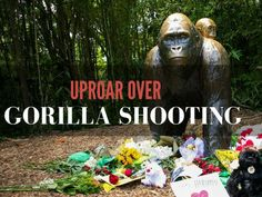 Animal lovers are outraged after zookeepers shot to death 17-year-old gorilla Harambe at the Cincinnati Zoo when a boy climbed into its enclosure.