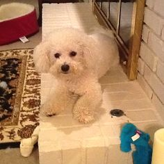 Our bichon, Murphy