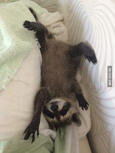 My friend rescued a baby raccoon. Meet Pumpkin, the raccoon who is too cute to handle!