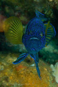 Eastern Blue Devil (Paraplesiops bleekeri) / Jervis Bay