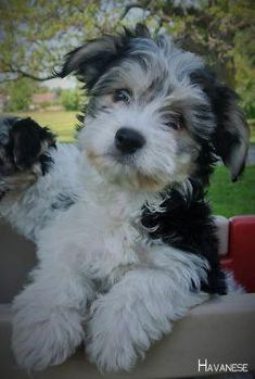 Facts On The Smart Havanese Puppy Grooming Havanese Grooming, Puppy Grooming, Havanese Puppies, Baby Puppies, Cute Puppies, Dogs And Puppies, Havanese Haircuts, Maltipoo, Pet Dogs