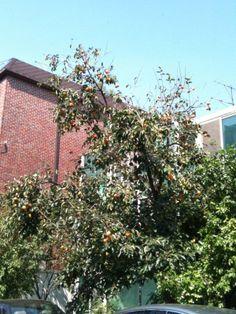 이미영, MiYoung Yi, 어슬렁 @Mi Young Yi /  동네 감나무의 감이 붉어지가 시작했다!!! 아파트에서만 살던 나는 작년에 이 동네 이사오고 나서 시골이 아닌 도심 골목길에 주렁주렁 달려있는 감을 처음봤다. 곧 골목마다 주황색 땡땡이를 보겠네~~ / #골목 #식물 / 2012 09 24 /