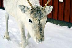 Rentierschlitten fahren auf der Ounaskievari Rentier Farm in Levi Lappland Lappland, Goats, Highlights, Animals, Ski, Travel Advice, Viajes, Animales, Animaux