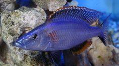 Haplochromis Compressiceps - Macho Juvenil