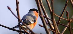 Dompap,Pyrrhula pyrrhula,Bullfinch male