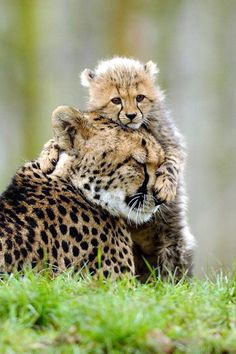 Cheetah momma and cub~