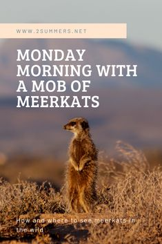 My experience watching meerkats in the wild in Oudtshoorn, South Africa. Monday Morning, South Africa, Southern, Green, Travel, Viajes, Destinations, Traveling, Trips