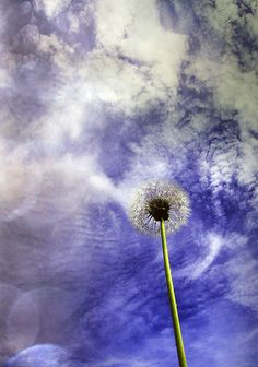 azul vilano blanco dandelion 蒲公英 민들레 タンポポ πικραλίδα одуванчик clock by A Garazo / Ninakupenda images, via Flickr