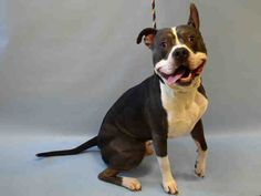 GONE 7-5-2015 --- Manhattan Center AIZEN – A1041328  MALE, GRAY / WHITE, AMERICAN STAFF MIX, 1 yr, 6 mos OWNER SUR – EVALUATE, NO HOLD Reason LLORDPRIVA Intake condition EXAM REQ Intake Date 06/24/2015