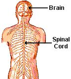 The core of the nervous system