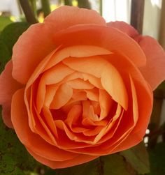 Roses David Austin🌹