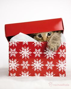 Mischief (Siberian x) - Every Christmas box holds a surprise  (pic by Rachael Hale)