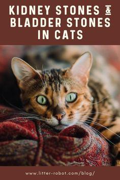 Kidney Stones & Bladder Stones in Cats   Litter-Robot Blog