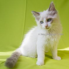 2013: Tsu'Tey A Zwollywood Cat. 12 Weeks old Ragdoll kitten, blue bicolour. Avatar litter.