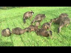 22 Minutes of young ducks eating
