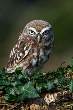cd...Little Owl (athene noctua)