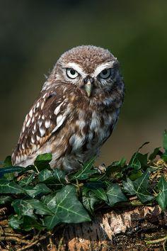 cd...Little Owl (athene noctua)