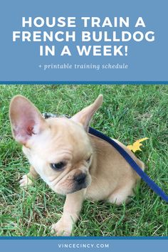 55 Best french bulldog for sale images in 2014 | French