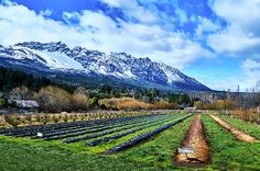 Scenic view of raspberry farmlands in El Bolsón, Río Negro, Argentina, with snowy mountains and beautiful blue sky with clouds above them. This image is available for purchase as a ready to hang print / wall art (paper, canvas, metal, acrylic, wood) or on gifts (coffee mugs, phone cases, shower curtains and many more). Click through the image to see your options! 30-days money back guarantee. Art for your life by Eduardo Jose Accorinti.