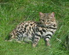 Blackfooted2 - Felis nigripes - Wikipedia, la enciclopedia libre