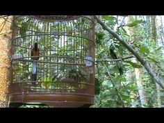 ▶ Caged Shama Vs Wild Shama - YouTube