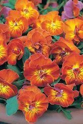 Viola 'Amber Kiss' - Plants