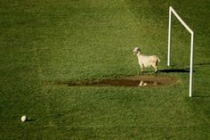 Goatkeeper by Adrian Petrisor Spiegel Online, Out Of Focus, Smosh, Humor, Animal Photography, Haha, Photo Galleries, Sports, Pictures