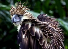Also known as the monkey-eating eagle, the Philippine eagle is the national bird of the Philippines. Due to deforestation and illegal logging activity the eagle is considered to be critically endangered as its population is down to Most Endangered Animals, Endangered Species, Extinct Animals, Philippine Eagle, Eagle Wallpaper, Wallpaper Backgrounds, Wallpapers, Eagle Pictures, Nature Center