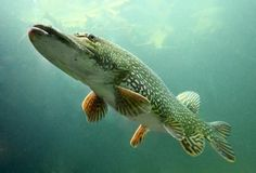 Underwater photo big Pike (Esox Lucius) Poster Trophy fish in Hracholusky lake, Czech Republic, Europe Poster Poster. Pike Fishing, Fly Fishing, Fishing Stuff, Trophy Fish, Fishing Photos, Fishing Photography, Underwater Photos, Underwater Photography, Fishing Life