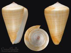 Conus quercinus f.akabaensis